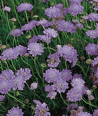 purple floxers for x