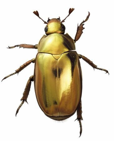 image of a gold beetle